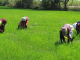CBN to Finance 60,000 Rice Farmers in Kano