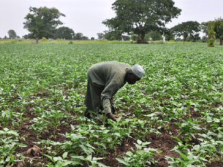 Farmer Says Nigeria can produce 4m tonnes of cowpea annually