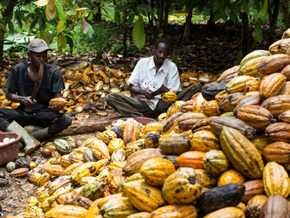 Nigeria's Cocoa Export Rises by 20% in 2017