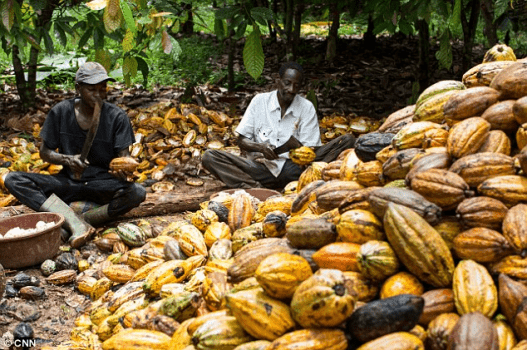 Nigeria's cocoa revolution gets boost as NEXIM disburses N20b