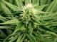The harmful effects of marijuana to health