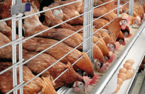 Best Marketing Ideas for selling Poultry products in Nigeria